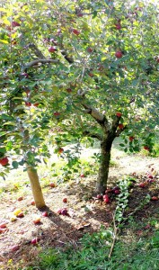 Apple Picking Opportunities in Illinois near new homes by Gerstad Builders